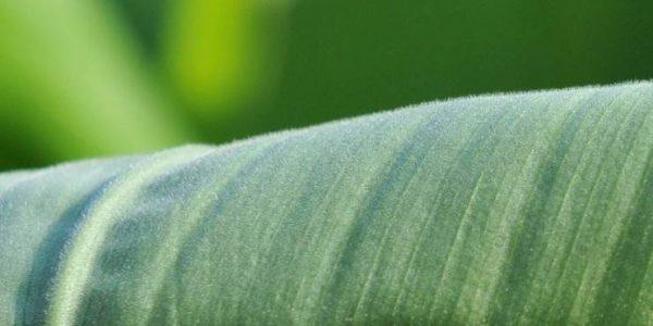온울금(溫鬱金) Curcuma aromatica