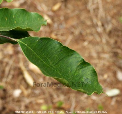침향(沈香) Aquilariae Lignum Resinatum