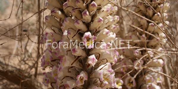 육종용(肉蓯蓉) Cistanchis Herba