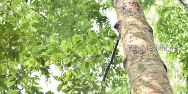 용뇌향(龍腦香) Dryobalanops sumatrensis